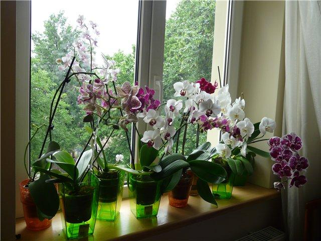 орхидеи на прозореца