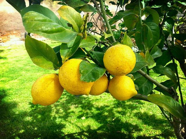 лимонено дръвче