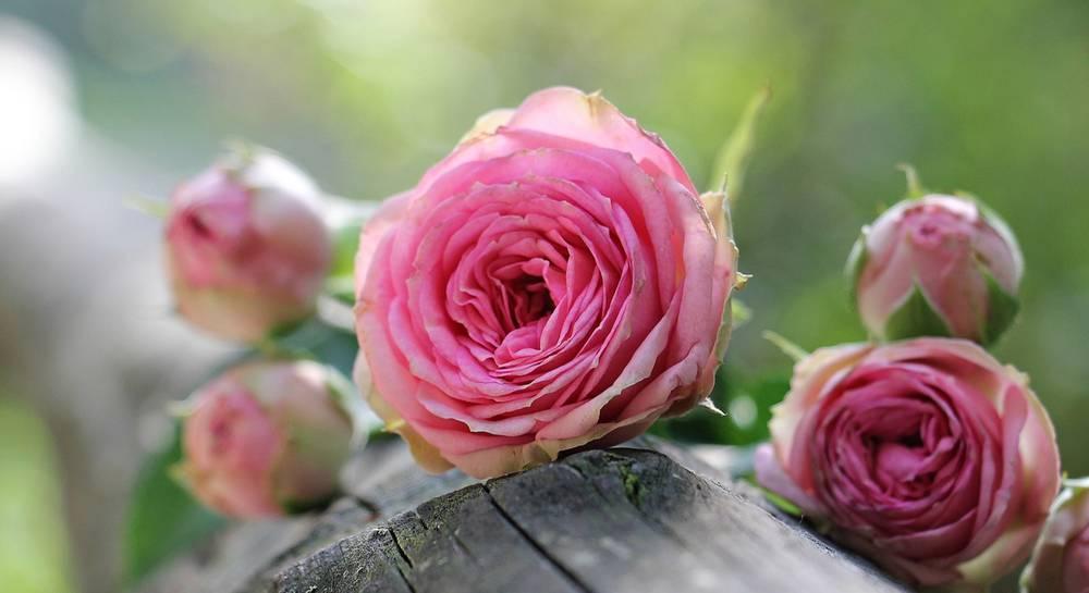 красиви рози