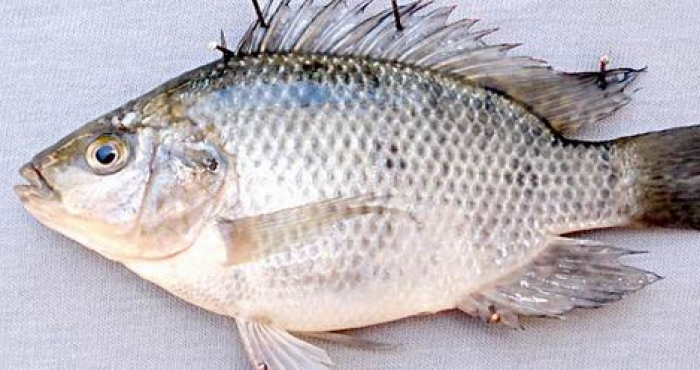 сурова риба