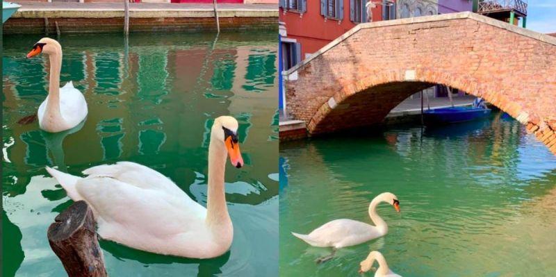 лебеди във Венеция