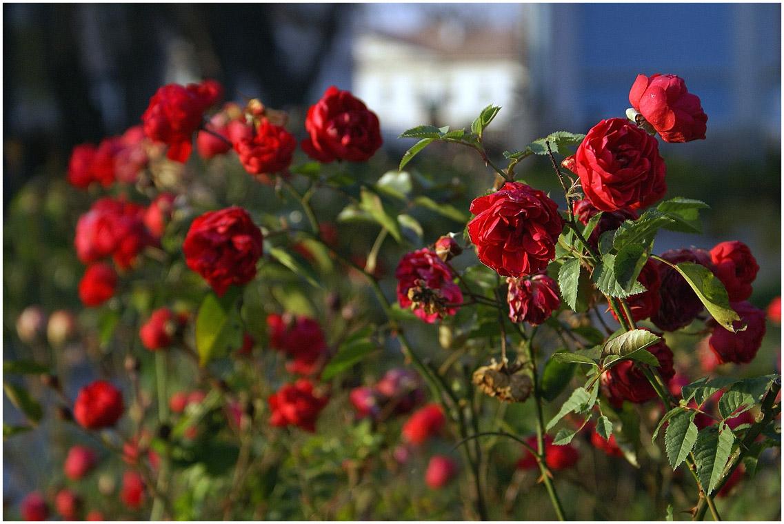 стара роза