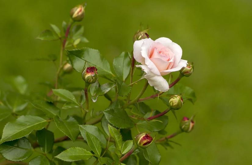 млада роза