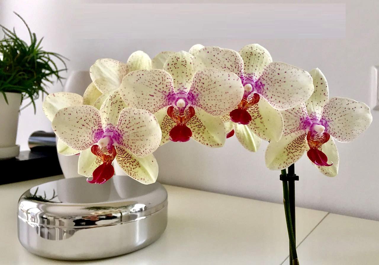 петниста орхидея