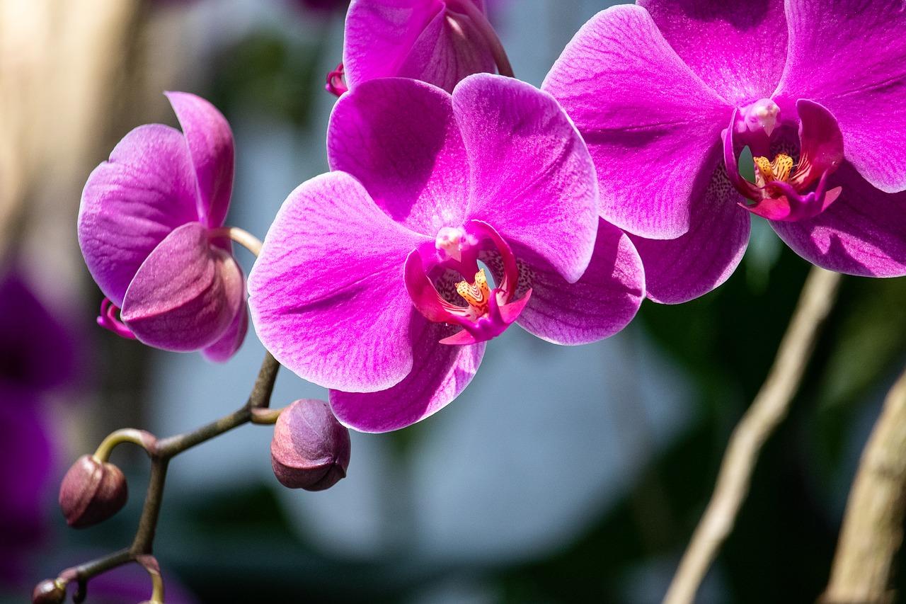 виолетова орхидея