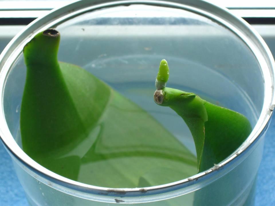 вкореняване орхидея