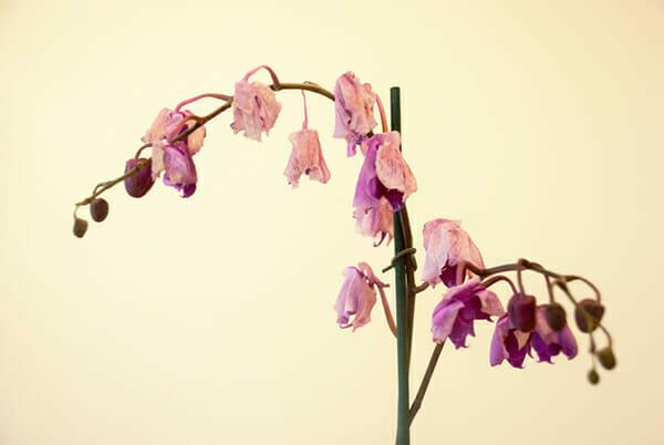 повяхнала орхидея