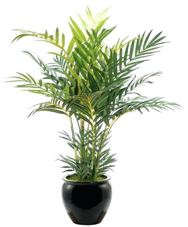 Палма хамедорея