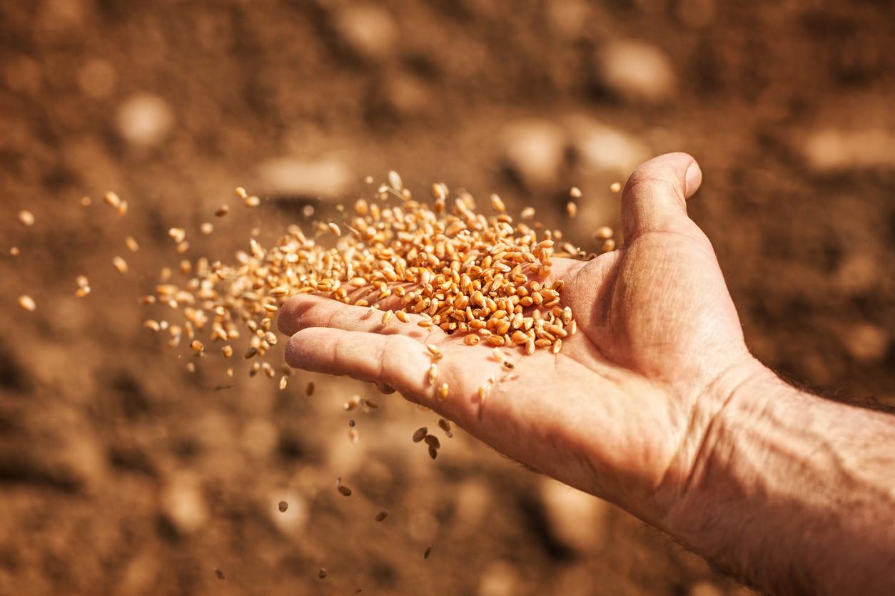 шепа пшеница