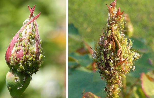 листни въшки