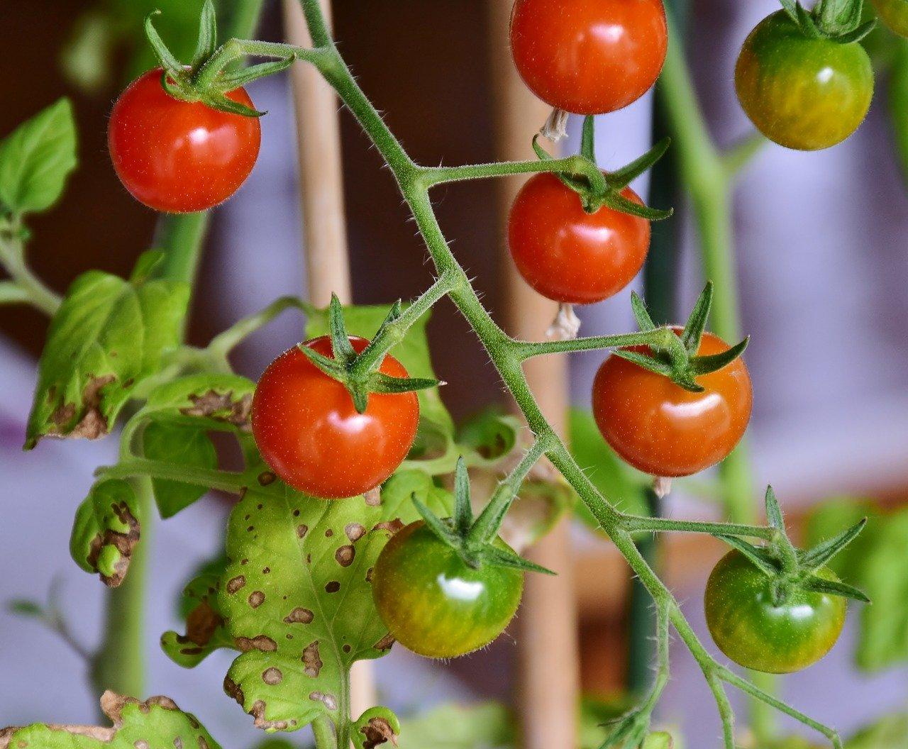 узрели домати
