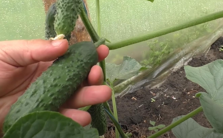 реколта от краставици