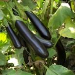 Не можете да използвате презрелите плодове, защото те произвеждат алкалоид соланин, който може да предизвика гадене, повръщане, диария, диспнея.