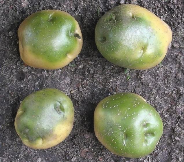 Зелените картофи не могат да се ядат. Под въздействието на светлината се натрупва отровна субстанция от соланин.