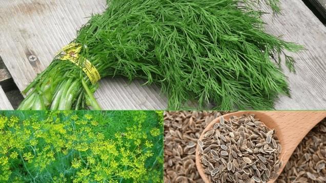 Копър   Смесете семена и листа от копър. Изсипете 1 супена лъжица от тази смес във вряла вода. Изчакайте 1 час. Пийте 3 пъти на ден по 150 ml.
