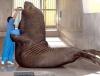 огромен морж