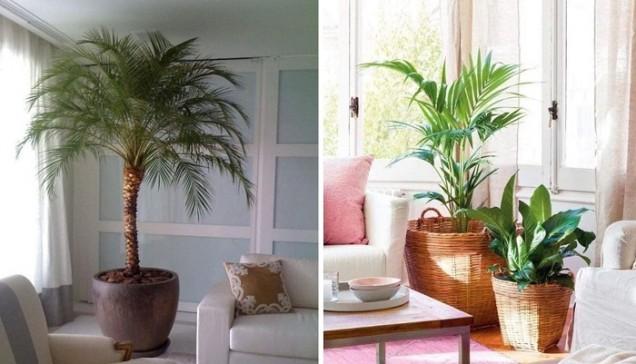 палми вкъщи