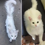 красиво бяло коте