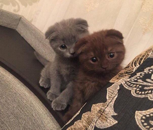 сиви котета