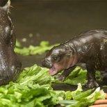 Хипопотам пигмей се храни с маруля