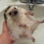 Таралеж взема вана