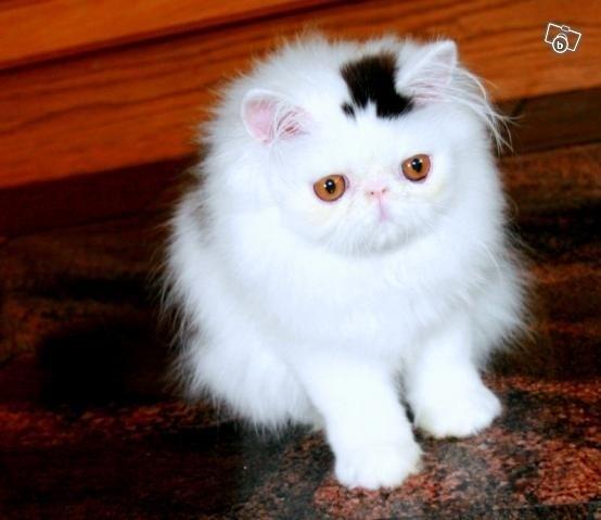 Котка с петно шапка