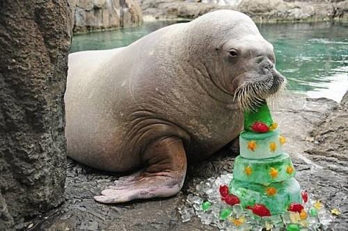 Морж хапва плодова торта