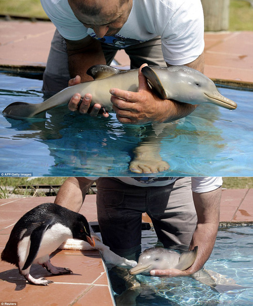 Бебе пингвин среща, бебе делфин