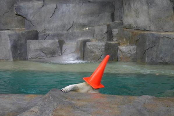 Полярна мечка с конус на главата