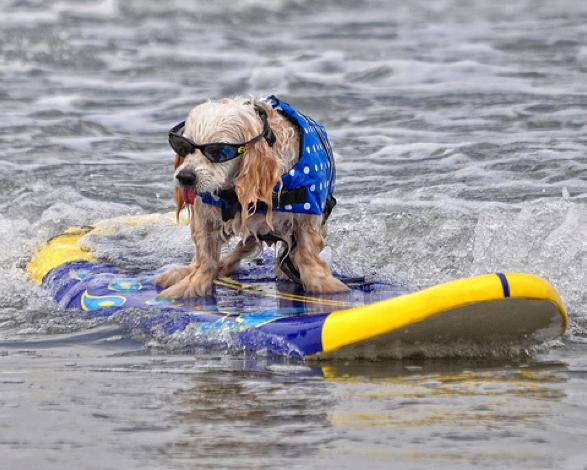 Сърфиращо куче със слънчеви очила